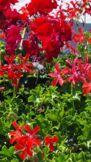 Kolibrie-vlinder in Le Marche